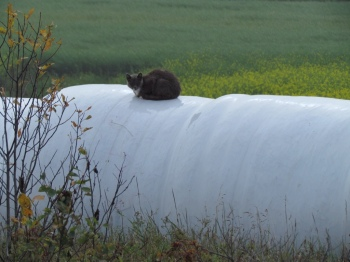 We've seen these shrink-wrapped hay bales everywhere. These attracted a cat!