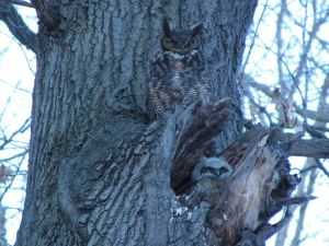 Mrs. Owl and her owlet