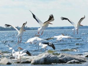 Rainy Lake Pelicans