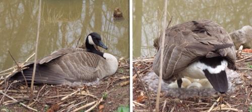Mama Canada Goose