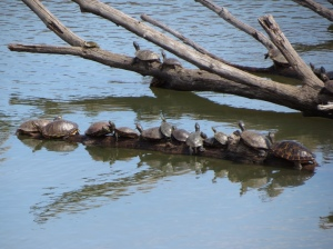 Turtles sunning themselves