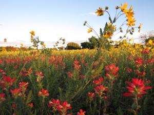 Johnson City wildflowers