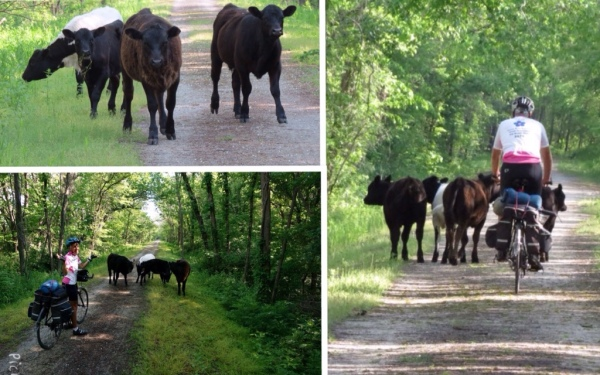 Cows on Katy Trail