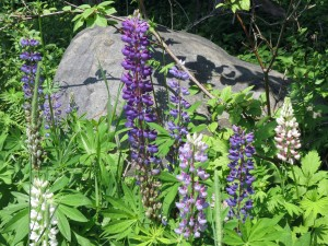 Lupine in our yard
