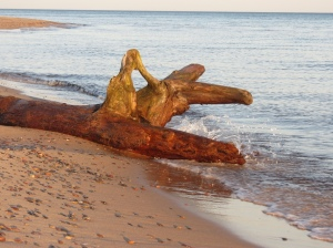 Crisp Point driftwood