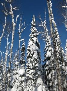 Seuss-like trees on the Bearskin trails