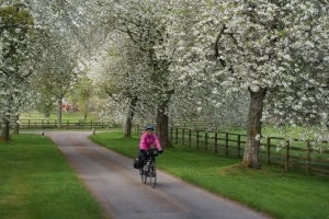 Molly cycling under white blossoms