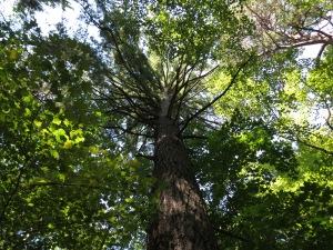 Tall virgin pine