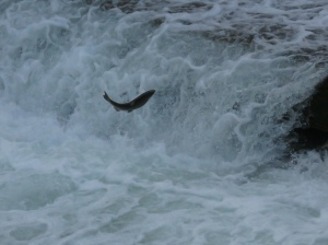 Fish jumping upstream - by Rich Hoeg