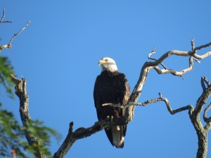 Bald Eagle by Rich Hoeg