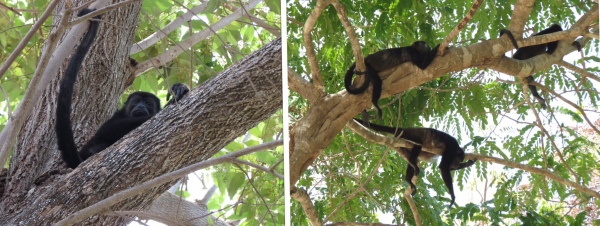 Monkeys in tree