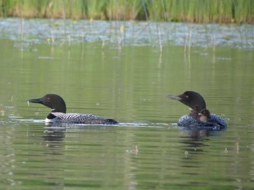 Loons 2