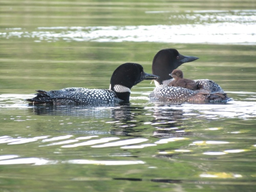 Loons 3