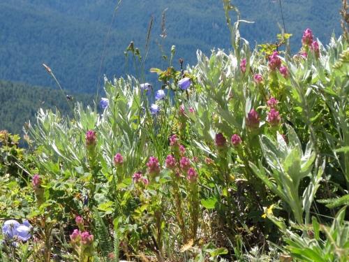 Hurricane Hill wildflowers