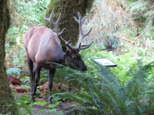 Elk in rain forest