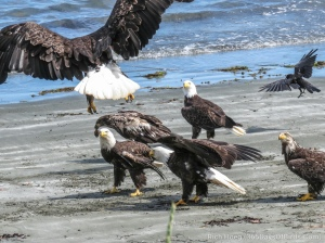 Eagles fight for food