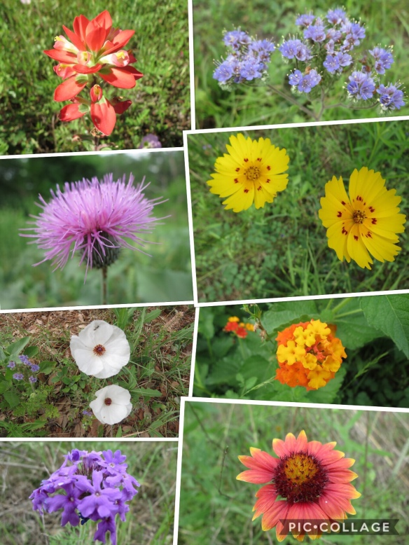 Texas wildflowers 1