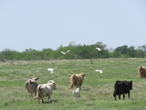 Cows and cattle egrets