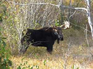 Moose in Tetons