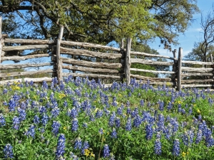 Texas bluebonnets Willow City Loop 2