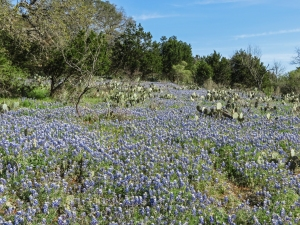 Texas bluebonnets Willow City Loop 3