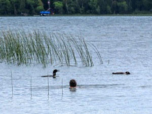 Molly swimming with loons 2